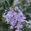 Veronica 'Mountain Breeze'