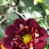 Dahlia Collarette Dandy Mix (Dahlia Collarette Dandy Mix)
