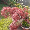 Acer palmatum 'Firecracker' (Japanese maple 'Firecracker')