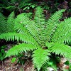 Dryopteris crassirhizoma (Crown wood fern)