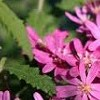 Olearia phlogopappa 'Comber's Pink'