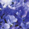 Lathyrus odoratus Singing the Blues Mix (Sweet pea Singing the Blues Mix)