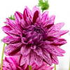 Dahlia 'Blackberry Ripple' (Dahlia 'Blackberry Ripple')