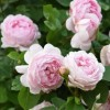 Rosa Constance Spry (Rose Constance Spry)