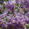 Solanum crispum 'Glasnevin' (Potato tree 'Glasnevin')