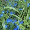 Lithodora diffusa 'Heavenly Blue' (Purple gromwell 'Heavenly Blue')