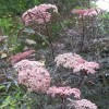 Sambucus nigra 'Black Lace' (Common elder 'Black Lace')