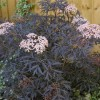 Sambucus nigra f. porphyrophylla 'Black Lace' (Common elder 'Black Lace')