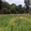 Tripsacum dactyloides (Eastern gama grass)