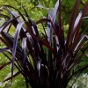 Phormium 'Platts Black' (New Zealand flax 'Platts Black')