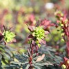 Euphorbia amygdaloides 'Purpurea' (Wood spurge 'Purpurea')