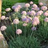 Allium senescens (German garlic)