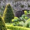 Taxus baccata (Common yew)