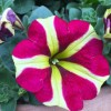 Petunia 'Amore Queen of Hearts' (Amore Series) (Petunia 'Amore Queen of Hearts' )