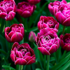Tulipa 'Dream Touch' (Tulip 'Dream Touch')