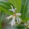 Sarcococca confusa (Sweet box)