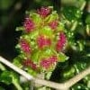 Sarcopoterium spinosum (Thorny burnet)