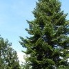 Abies alba (European silver fir)