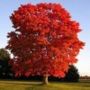 Acer rubrum 'Red Sunset' (Red maple 'Red Sunset')