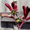 Anigozanthos 'Big Red' (Kangaroo paw 'Big Red')