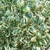 Euonymus japonicus 'Silver King' (Japanese spindle 'Silver King')
