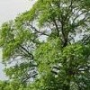 Ulmus minor (European field elm)
