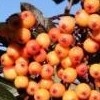 Sorbus 'Amber Light'