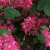 Ribes sanguineum 'Barrie Coate'