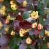 Berberis thunbergii 'Red Torch' (Japanese barberry 'Red Torch')
