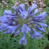 Agapanthus 'Big Blue' (African lily 'Big Blue')