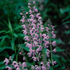 Salvia pratensis 'Pink Delight' (Meadow clary 'Pink Delight')