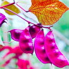 Lablab purpureus (Hyacinth bean)