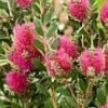 Callistemon viminalis 'Hot Pink' (Bottlebrush 'Hot Pink')