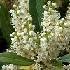 Prunus laurocerasus 'Nana' (Dwarf cherry laurel)