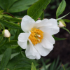 Paeonia 'Early Windflower' (Peony 'Early Windflower')