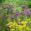 Vernonia noveboracensis (New York flat tops)