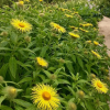 Inula magnifica 'Sonnenstrahl'  (Giant inula 'Sonnenstrahl' )