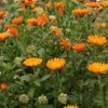 Calendula officinalis  (Common marigold)
