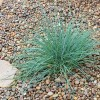 Carex flacca 'Blue Zinger' (Blue sedge 'Blue Zinger')