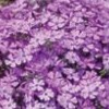 Phlox subulata 'Purple Beauty' (Alpine phlox 'Purple Beauty')