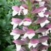 Acanthus 'Morning's Candle'