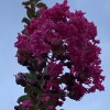 Lagerstroemia fauriei  (Japanese crape myrtle)