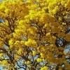 Tabebuia chrysotricha (Golden trumpet tree)