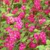 Flowering currant 'Pulborough Scarlet' (Ribes sanguineum 'Pulborough Scarlet')