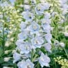 Delphinium 'Magic Fountains Sky Blue