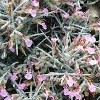 Teucrium subspinosum (Spiny germander)