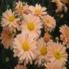 Chrysanthemum 'Peach Enbee Wedding' (Chrysanthemum 'Peach Enbee Wedding')