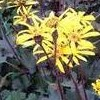 Ligularia 'Osiris Cafe Noir'