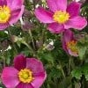 Anemone hupehensis 'Red Riding Hood' (Fantasy Series)