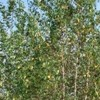 Betula populifolia 'Whitespire' (Grey birch 'Whitespire')